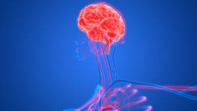 Menselijke Hersenen met het Vaatstelsel Royalty-vrije Stock Afbeeldingen