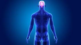 Menselijke Hersenen met skelet stock footage