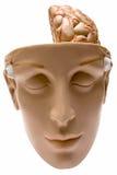 Menselijke Hersenen met Weg (Vooraanzicht) Stock Foto