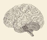 Menselijke hersenen uitstekende illustratie, gegraveerde retro stijl, getrokken hand Royalty-vrije Stock Afbeeldingen