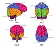 Menselijke hersenen van alle kanten Royalty-vrije Stock Fotografie