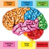 Menselijke hersenen zijmening Stock Afbeelding