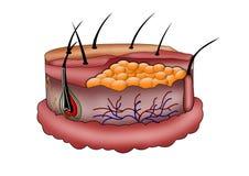 Menselijke huidanatomie Stock Fotografie