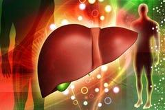 Menselijke lever stock illustratie