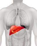 Menselijke lever in lichaam Stock Foto