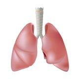 Menselijke longen die op wit worden geïsoleerde Royalty-vrije Stock Afbeeldingen