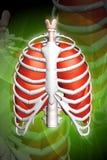 Menselijke longen en rib Stock Foto's