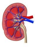 Menselijke nier vector illustratie