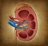 Menselijke Nier met Textuur Grunge Stock Foto's