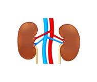 Menselijke nier twee Stock Afbeelding