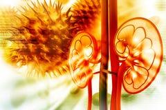 Menselijke nierdwarsdoorsnede royalty-vrije illustratie