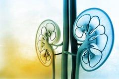 Menselijke nierdwarsdoorsnede vector illustratie