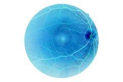 Menselijke ooganatomie, retina stock afbeeldingen