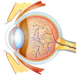 Menselijke oogdwarsdoorsnede stock illustratie