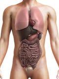 Menselijke organen Royalty-vrije Stock Foto