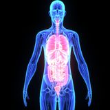 Menselijke organen Royalty-vrije Stock Afbeeldingen