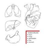 Menselijke organen, vectorillustratie Stock Foto