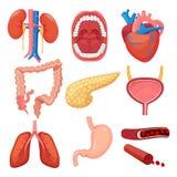 Menselijke organeninzameling Van de de longmaag van de hersenenlever illustraties van de de spier de vector medische anatomie vector illustratie