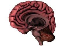 Menselijke sagittal hersenen Stock Foto's