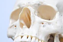 Menselijke schedel Stock Afbeeldingen