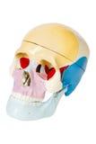 Menselijke schedel, anatomiemodel Royalty-vrije Stock Fotografie