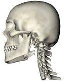 Menselijke schedel en halszijde stock illustratie