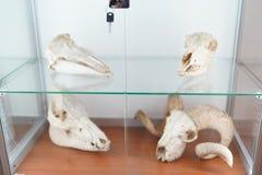 Menselijke Schedel het concept van de biologieanatomie medisch museum stock foto