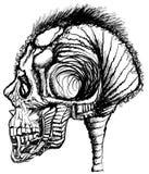 Menselijke schedel/uitstekende illustratie Royalty-vrije Stock Afbeelding