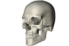 Menselijke schuine schedel Stock Foto