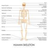 Menselijke Skelton Royalty-vrije Stock Foto
