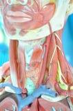 Menselijke spier Royalty-vrije Stock Afbeeldingen