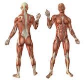 Menselijke spierenanatomie Royalty-vrije Stock Fotografie