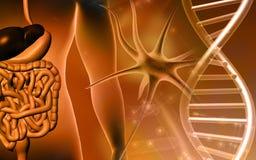 Menselijke spijsverteringssysteem en DNA Stock Afbeelding