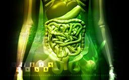 Menselijke spijsverteringssysteem en Skelton Royalty-vrije Stock Afbeeldingen