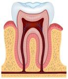 Menselijke tand Stock Afbeeldingen
