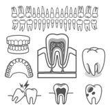 Menselijke tandanatomie Vector vector illustratie