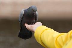 Menselijke voedende duifduif Stock Foto's
