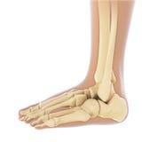Menselijke voetanatomie stock illustratie