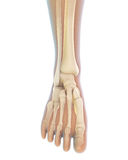 Menselijke voetanatomie Stock Fotografie