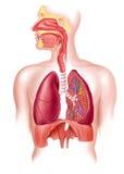 Menselijke volledige ademhalingssysteemdwarsdoorsnede. Stock Afbeelding