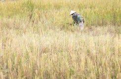 Mensen Aziatische landbouwer Harvest van het padieveld in seizoenoogst stock afbeeldingen