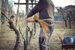 Mensen bindende wijnstokken die oude methode gebruiken Stock Foto's