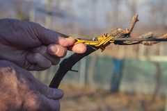 Mensen bindende wijnstokken die oude methode gebruiken Stock Fotografie