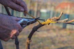 Mensen bindende wijnstokken die oude methode gebruiken Stock Foto