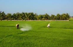 Mensen die aan het padieveld in Lange, zuidelijk Vietnam werken Stock Fotografie