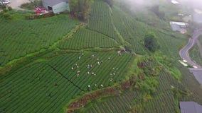 Mensen die bij Oolong-Theeaanplanting werken op Alishan-Gebied, Taiwan Lucht Mening stock footage