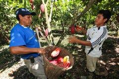 Mensen die cacaopeulen verzamelen Stock Afbeelding