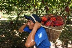 Mensen die cacaopeulen verzamelen Royalty-vrije Stock Foto