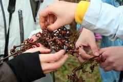 Mensen die de zoete eetbare vruchten van Japanse oosterse dulcis van Hovenia van de rozijnenboom proeven royalty-vrije stock foto