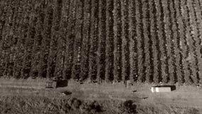 Mensen die druiven plukken stock footage